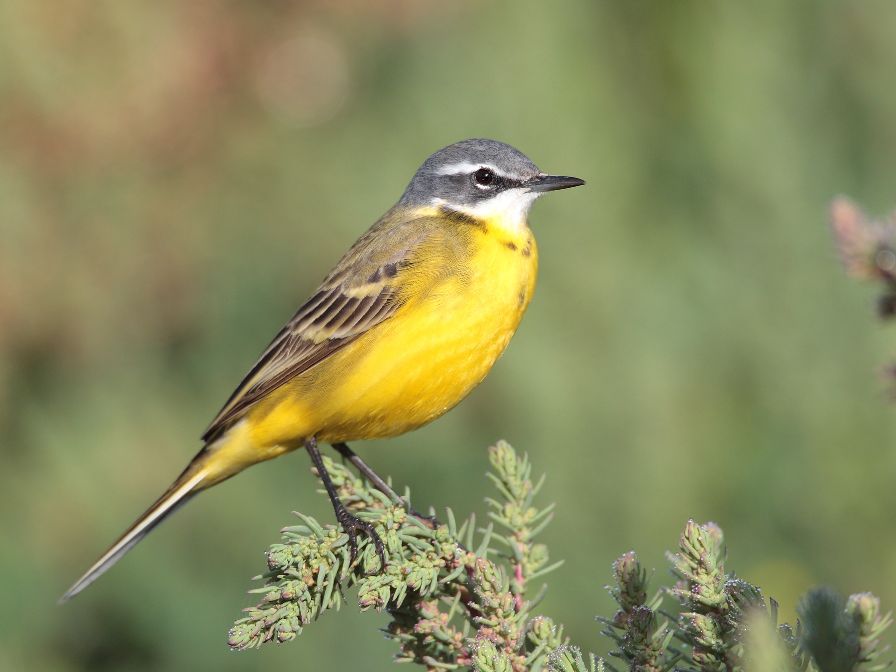 Western Yellow Wagtail: hard to miss